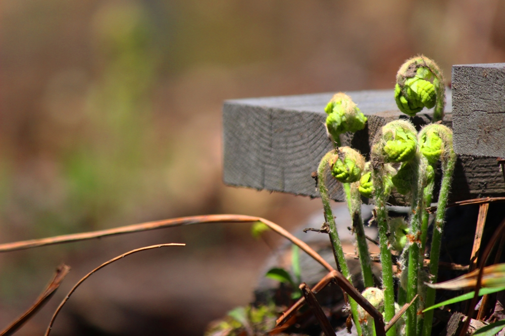 Captured these fern fiddleheads sprouting next to a small bridge along the trail.