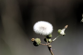 Puffy weed at Lake Woodruff National Wildlife Refuge