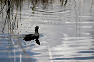 A Coot fishing in the calm waters at Lake Woodruff National Wildlife Refuge