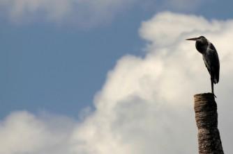 A Great Blue Heron taking a break from fishing at Lake Woodruff National Wildlife Refuge