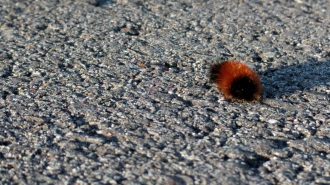 Wooly Bear crossing the park road.
